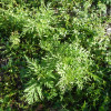 photo of eastern ragweed