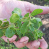 picture of purslane