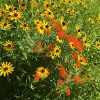 Black Eyed Susans and Butterfly Weed